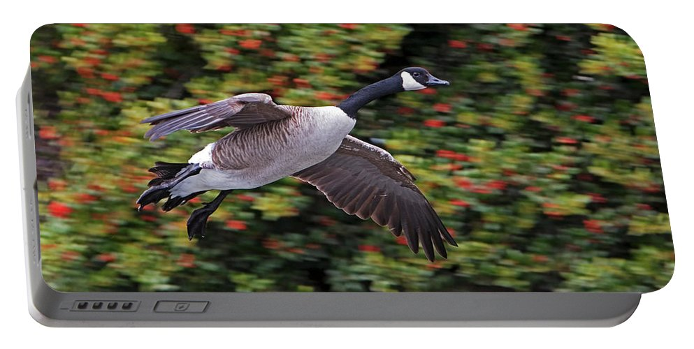 Canada Goose Portable Battery Charger featuring the photograph Canada Goose Landing by Randall Ingalls