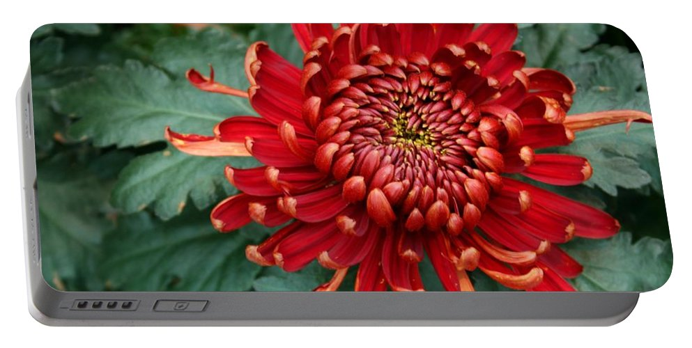 Plants Portable Battery Charger featuring the photograph Christmas Chrysanthemum by Angie Schutt