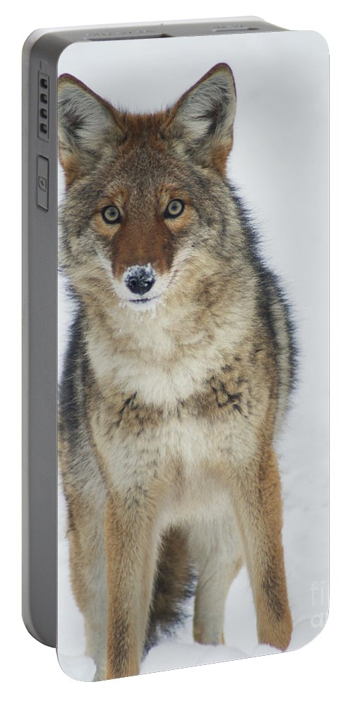Coyote Portable Battery Charger featuring the photograph Coyote Looking At Me by Stanza Widen