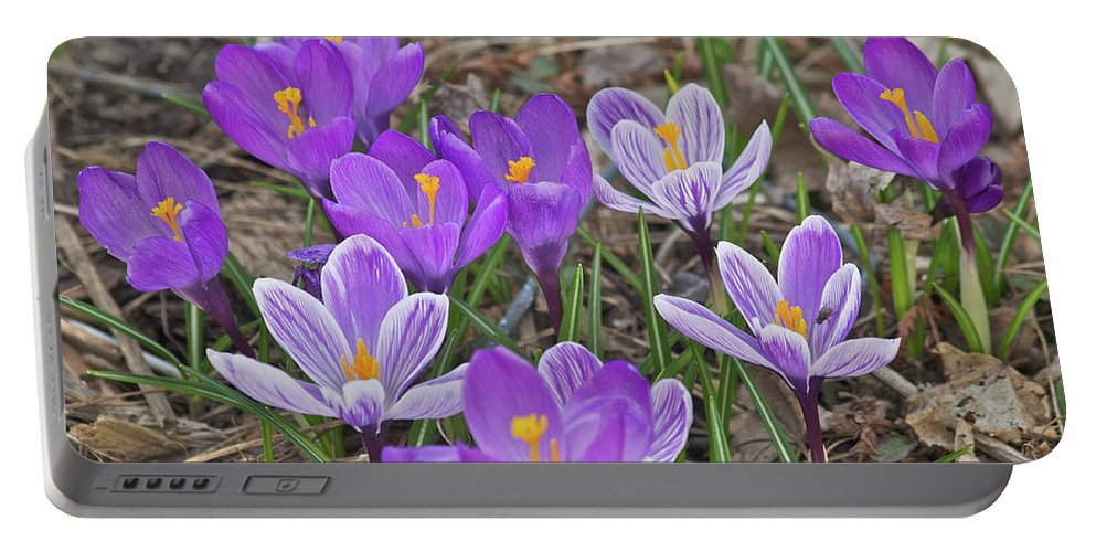 Crocus Portable Battery Charger featuring the photograph Crocuses 5 by Michael Peychich