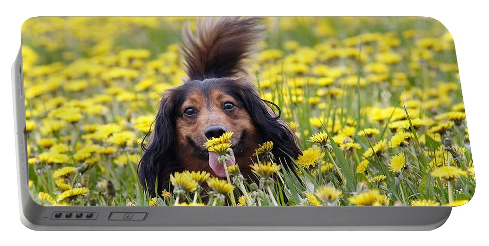 Dachshund Portable Battery Charger featuring the photograph Dachshund On A Meadow In Bloom by Michal Boubin