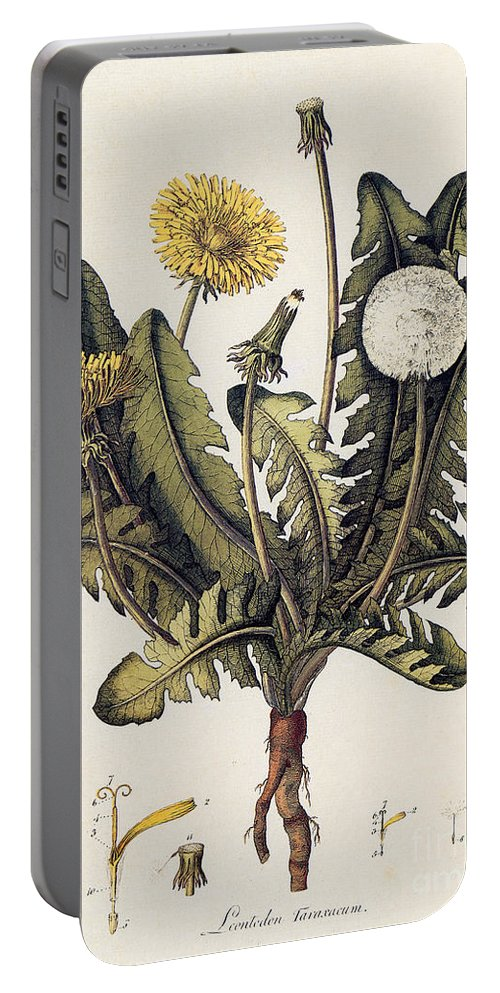 18th Century Portable Battery Charger featuring the photograph Dandelion by Granger
