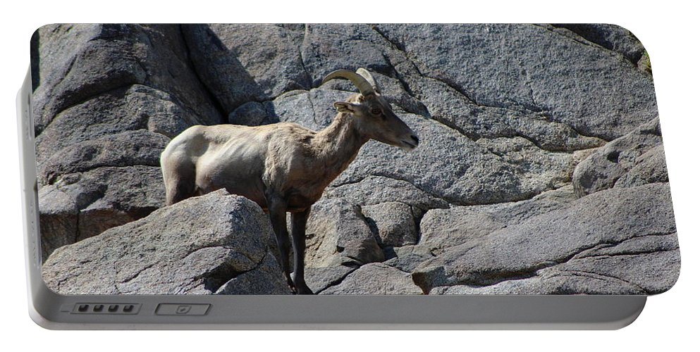 Bighorn Sheep Lamb Portable Battery Charger featuring the photograph Ewe Bighorn Sheep by Colleen Cornelius