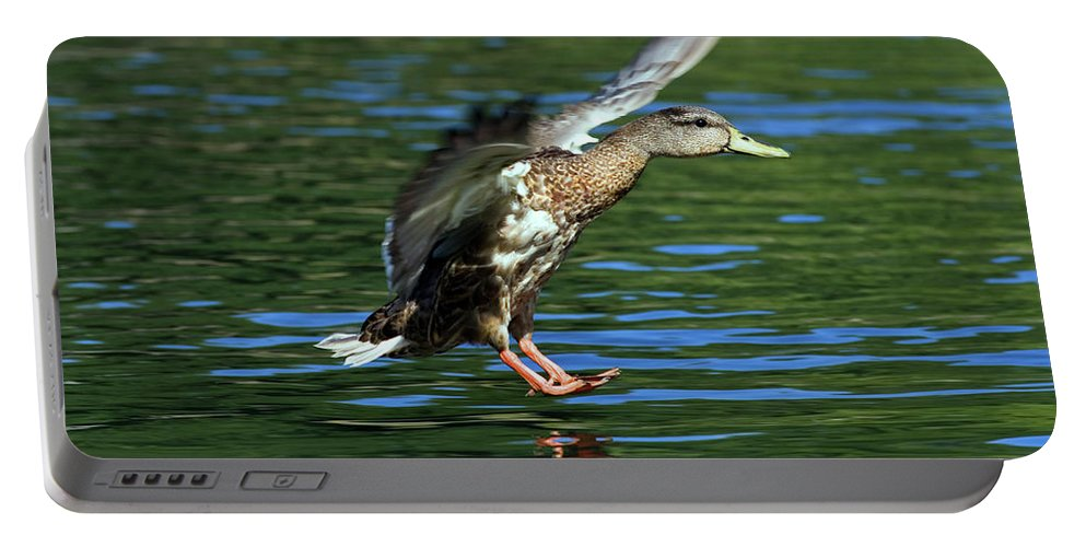 Flying Portable Battery Charger featuring the photograph Female Duck Landing by Randall Ingalls