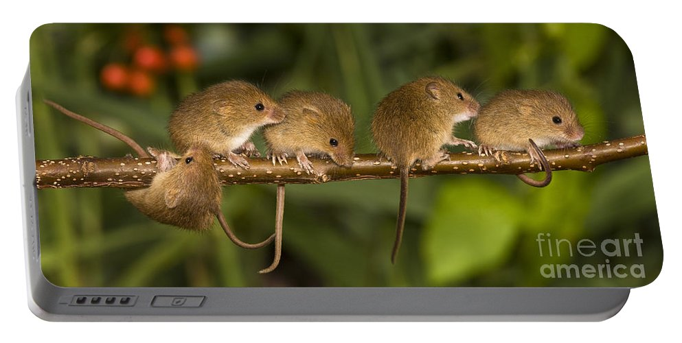 Eurasian Harvest Mouse Portable Battery Charger featuring the photograph Five Eurasian Harvest Mice by Jean-Louis Klein & Marie-Luce Hubert