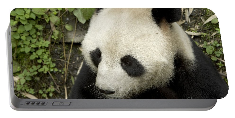 Giant Panda Portable Battery Charger featuring the photograph Giant Panda At Rest by Inga Spence