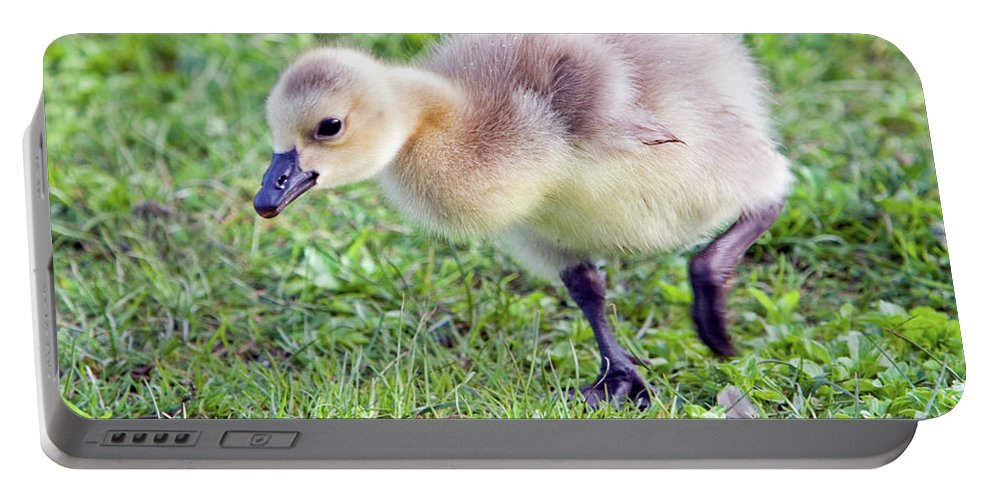 Canada Goose Portable Battery Charger featuring the photograph Gosling by Randall Ingalls