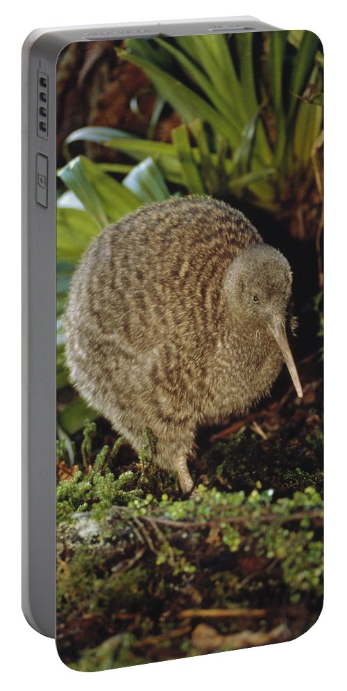 Mp Portable Battery Charger featuring the photograph Great Spotted Kiwi Apteryx Haastii Male by Tui De Roy