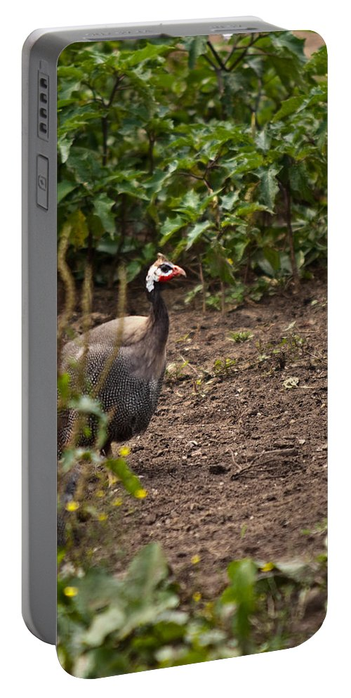 Galliformes Portable Battery Charger featuring the photograph Guineahen Looking For Food by Douglas Barnett