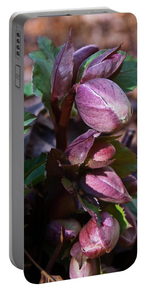 Heliborus Portable Battery Charger featuring the photograph Heliborus Early Flower Buds 1 by Douglas Barnett