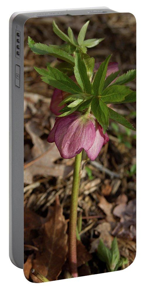 Heliborus Portable Battery Charger featuring the photograph Heliborus Nodding by Douglas Barnett