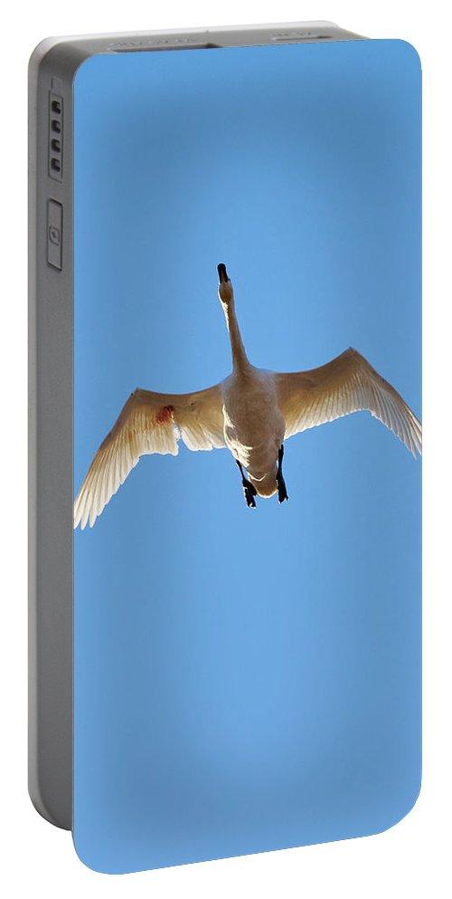 Jouko Lehto Portable Battery Charger featuring the photograph Hurt. Whooper Swan by Jouko Lehto