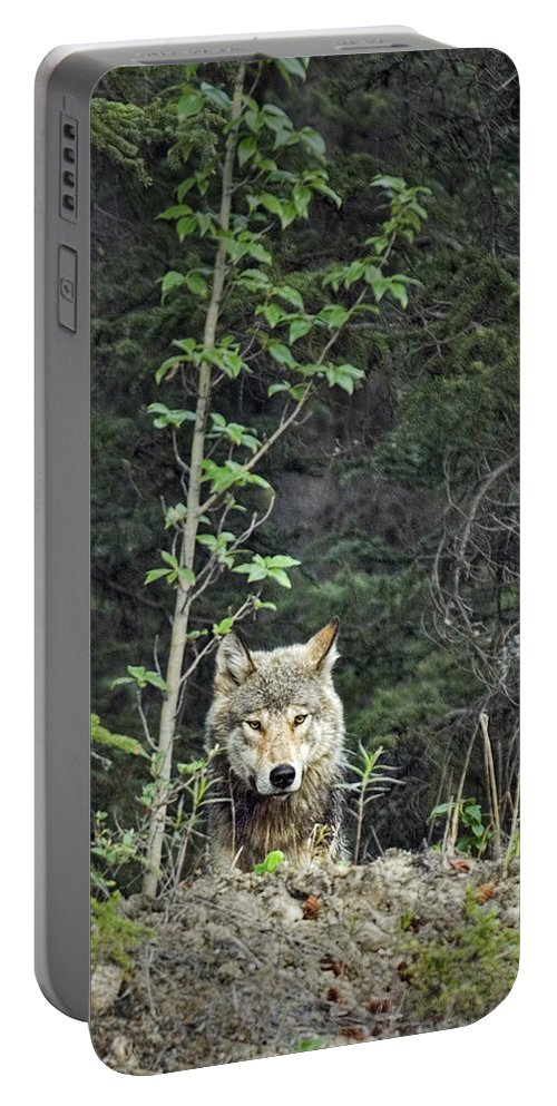 Gray Wolf Portable Battery Charger featuring the photograph Inspector by Richard Rivard