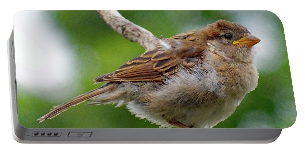 Juvenile House Sparrow Portable Battery Charger featuring the photograph Juvenile House Sparrow by Cindy Treger