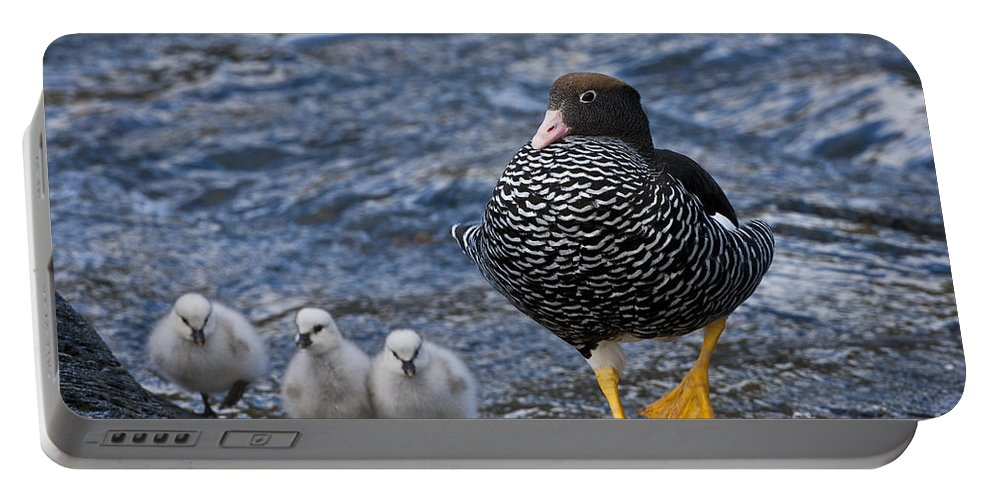 Kelp Goose Portable Battery Charger featuring the photograph Kelp Goose With Goslings by Jean-Louis Klein & Marie-Luce Hubert