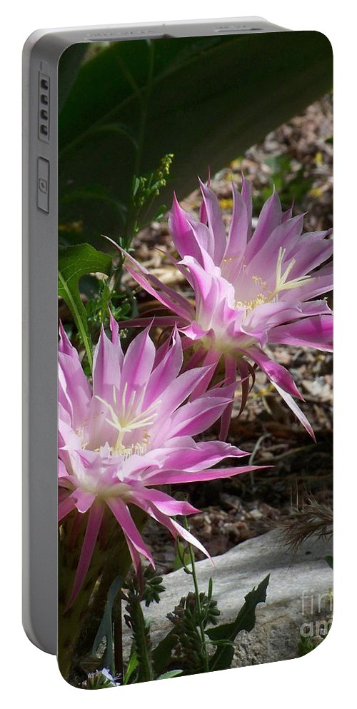 Cactus Portable Battery Charger featuring the photograph Lavendar Cactus Flowers by Kathy McClure