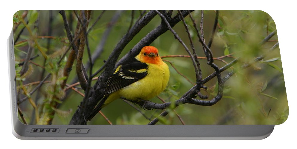 Bird Feathers Western Tanager Wildlife Orange Yellow Black Portable Battery Charger featuring the photograph Looking At You - Western Tanager by Shari Jardina