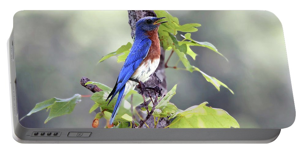 Bluebird Portable Battery Charger featuring the photograph Male Bluebird by Jackson Pearson