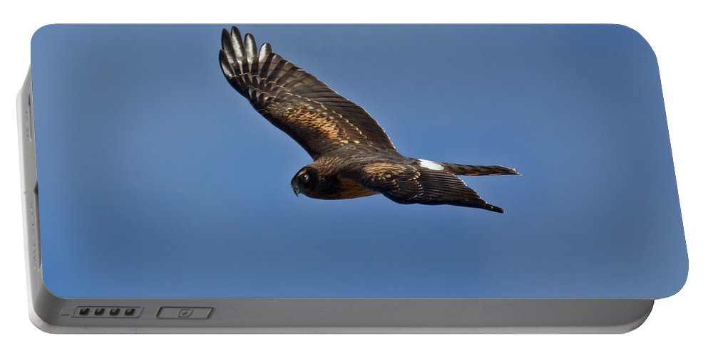 Marsh Hawk Portable Battery Charger featuring the photograph Marsh Hawk Square Format by Ernie Echols
