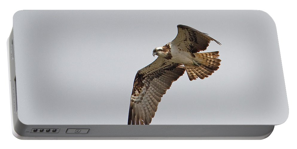 Osprey Portable Battery Charger featuring the photograph Osprey Aloft by Bob Kemp