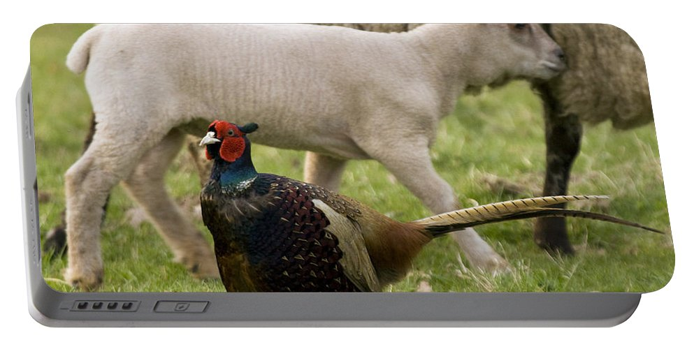 Lamb Portable Battery Charger featuring the photograph Pheasant And Lamb by Angel Ciesniarska