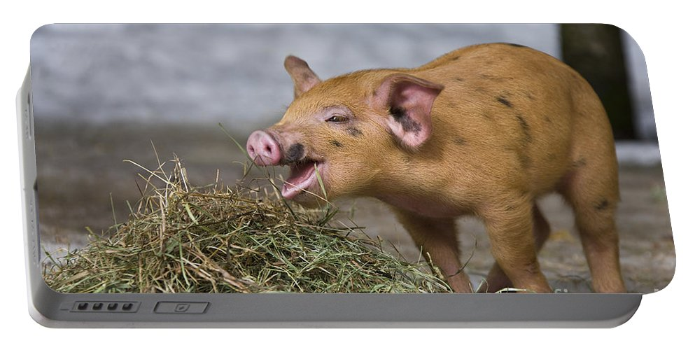 Piglet Portable Battery Charger featuring the photograph Piglet Eating Hay by Jean-Louis Klein & Marie-Luce Hubert
