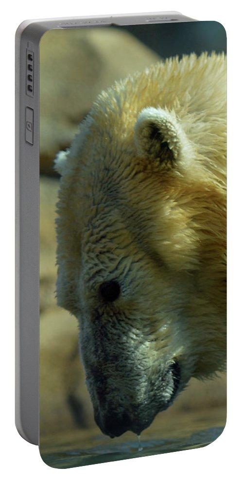 Polar Bear Portable Battery Charger featuring the photograph Polar Bear by Linda Benoit
