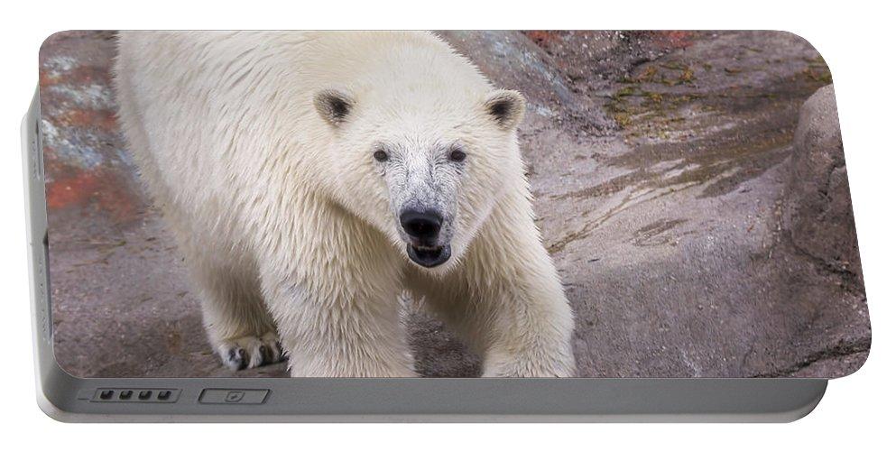 Polar Bear Portable Battery Charger featuring the photograph Polar Bear Prowl by LeeAnn McLaneGoetz McLaneGoetzStudioLLCcom