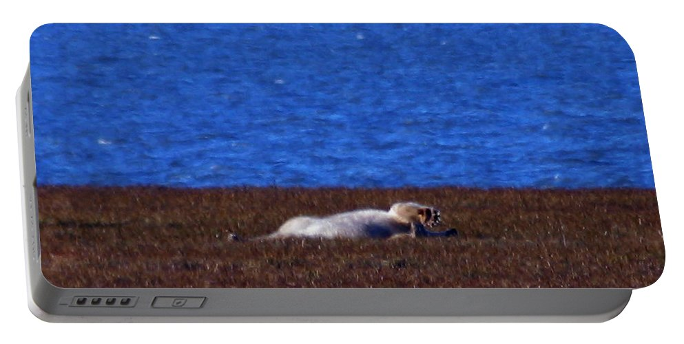 Polar Bear Portable Battery Charger featuring the photograph Polar Bear Rolling In Tundra Grass by Anthony Jones