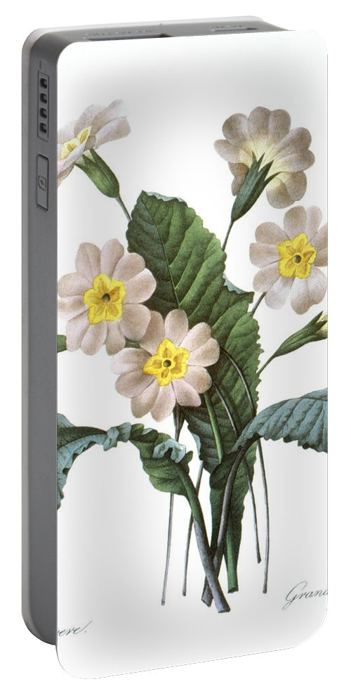 1833 Portable Battery Charger featuring the photograph Primrose (primula Aucalis) by Granger