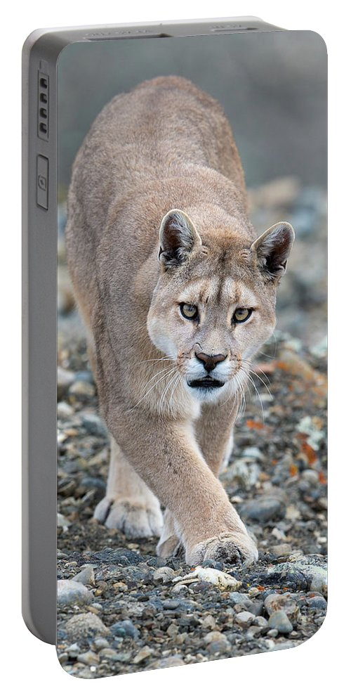 Puma Portable Battery Charger featuring the photograph Puma Walk by Max Waugh