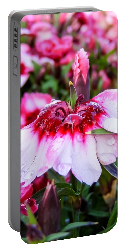 Rain Soaked Dianthus Portable Battery Charger featuring the photograph Rain Soaked Dianthus by Cynthia Woods