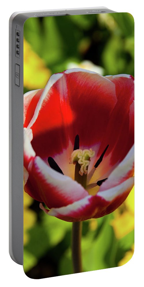 Tulip Portable Battery Charger featuring the photograph Red And White Tulip by Rob Hawkins