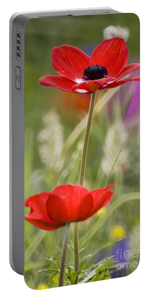 Red Portable Battery Charger featuring the photograph Red Anemone Coronaria In Nature by Ofer Zilberstein