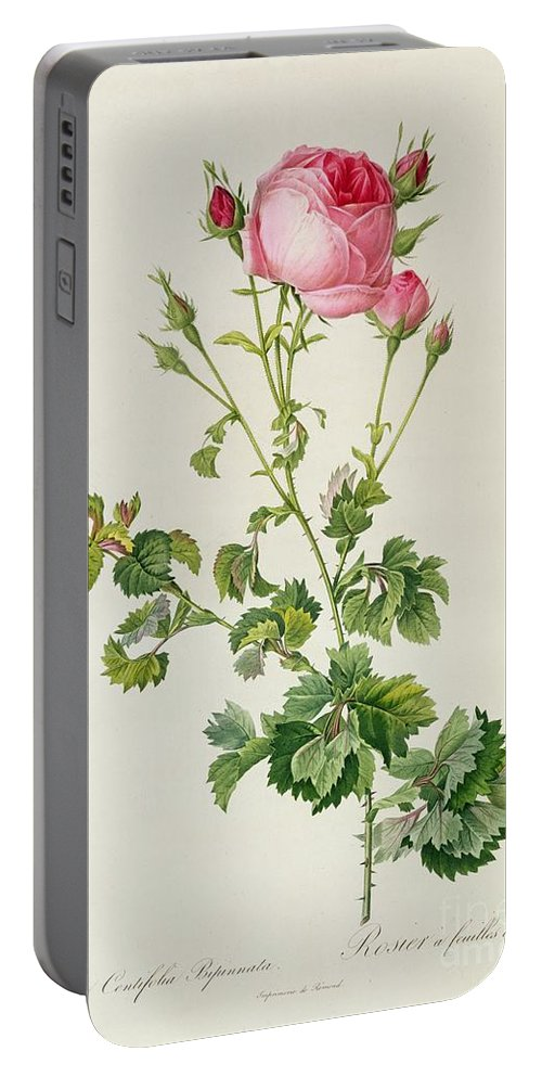 Rosa Portable Battery Charger featuring the painting Rosa Centifolia Bipinnata by Pierre Joseph Redoute