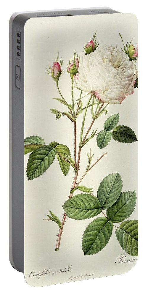 Rosa Portable Battery Charger featuring the drawing Rosa Centifolia Mutabilis by Pierre Joseph Redoute