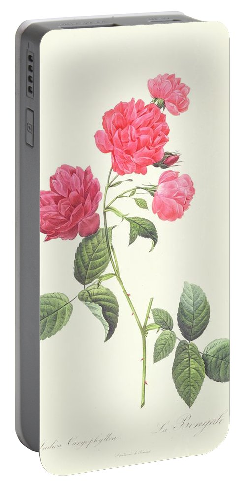 Rosa Portable Battery Charger featuring the drawing Rosa Indica Caryophyllea by Pierre Joseph Redoute