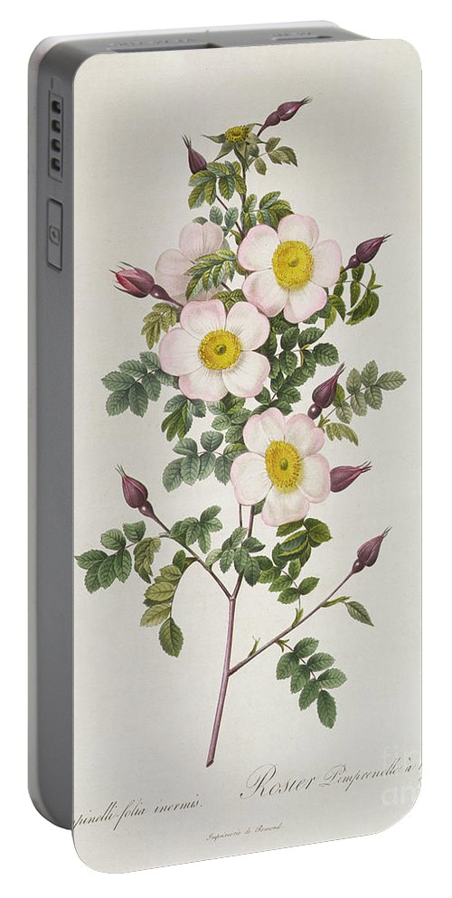 Rosa Portable Battery Charger featuring the drawing Rosa Pimpinelli Folia Inermis by Pierre Joseph Redoute
