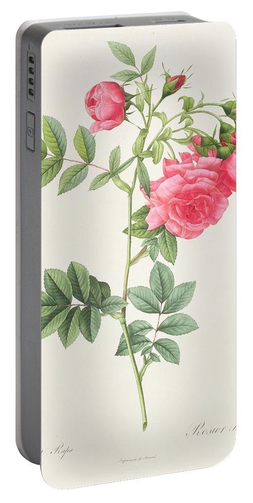 Rosa Portable Battery Charger featuring the drawing Rosa Pimpinellifolia Flore Variegato by Pierre Joseph Redoute
