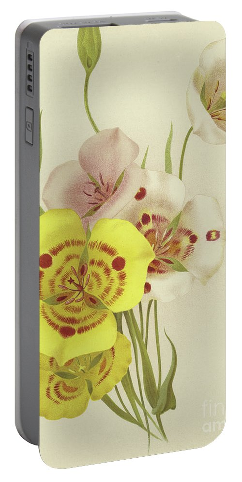 Botanical Portable Battery Charger featuring the painting Sego Lily  Calochortus by English School