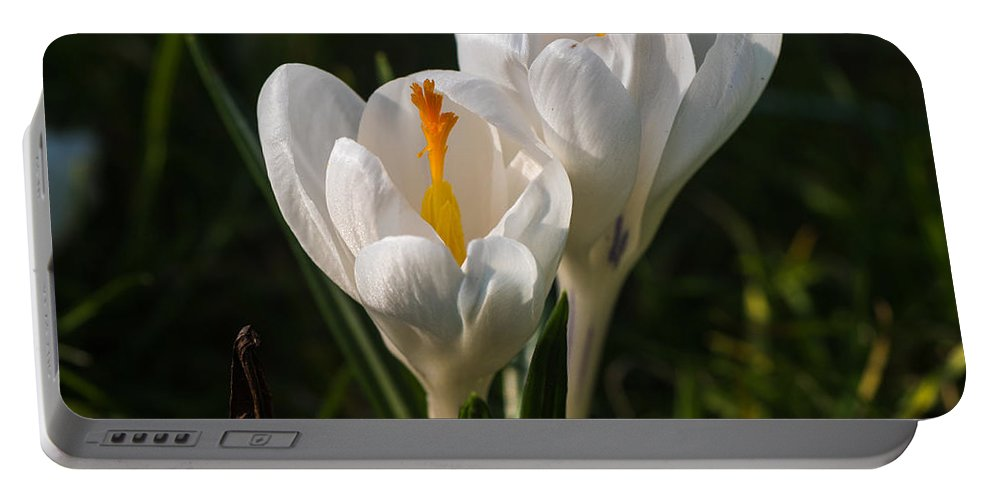 Spring Portable Battery Charger featuring the photograph Spring Crocus by Matt Malloy