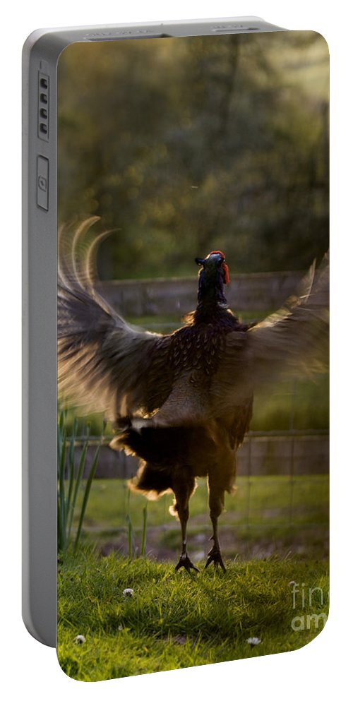 Pheasant Portable Battery Charger featuring the photograph Sunset In His Wings by Angel Ciesniarska