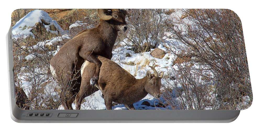 Bighorn Sheep Portable Battery Charger featuring the photograph The Coupling by Jim Garrison