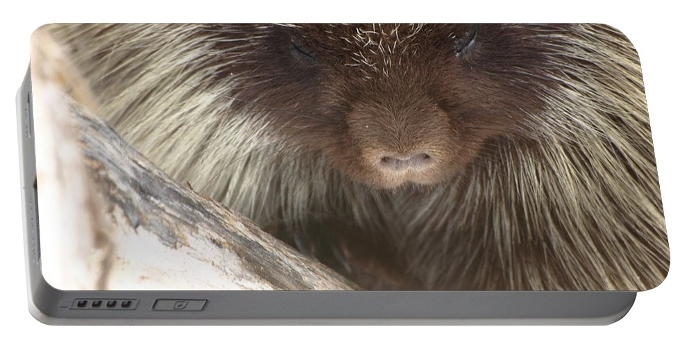 Porcupine Portable Battery Charger featuring the photograph The Tender Side Of Porcupine by DeeLon Merritt