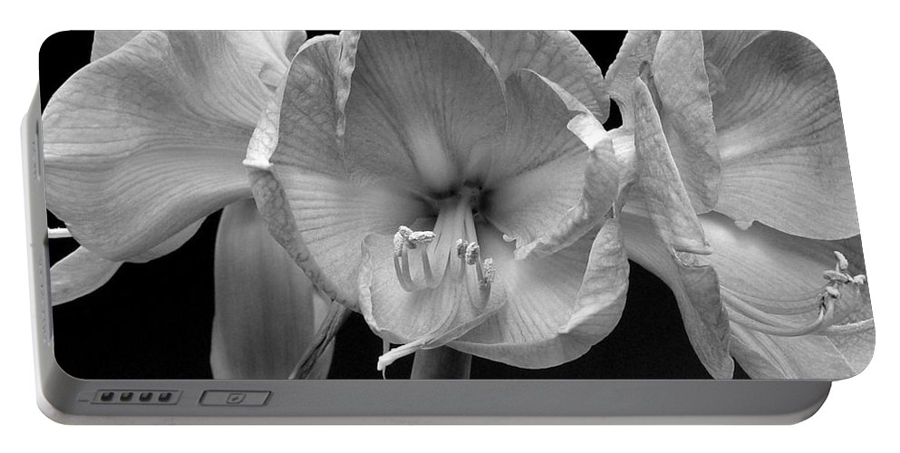 Amaryllis Portable Battery Charger featuring the photograph Three Amaryllis Black And White Print by James BO Insogna