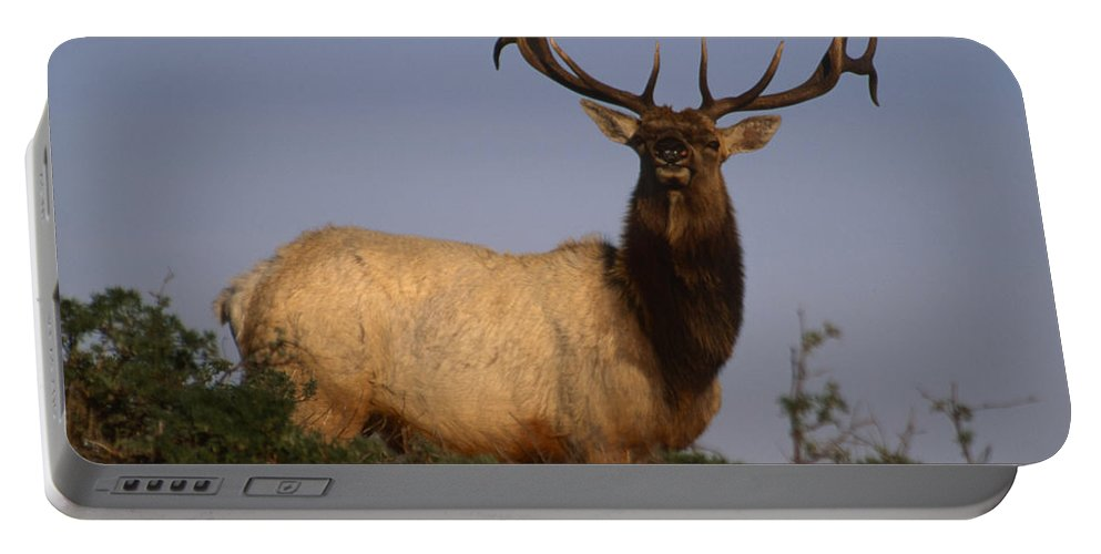Tule Elk Portable Battery Charger featuring the photograph Tule Elk - Tomales Point by Soli Deo Gloria Wilderness And Wildlife Photography