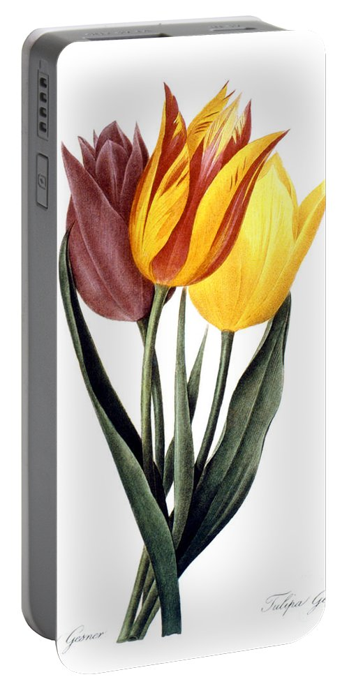 1833 Portable Battery Charger featuring the photograph Tulip (tulipa Gesneriana) by Granger
