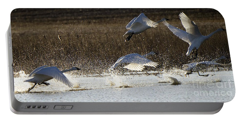 Swan Portable Battery Charger featuring the photograph Tundra Swans Take Off 2 by Bob Christopher
