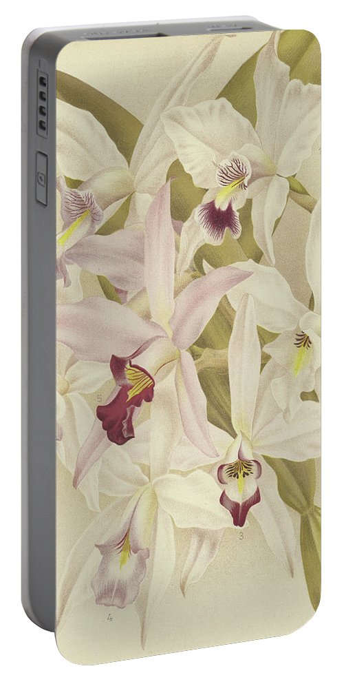Orchid Portable Battery Charger featuring the painting Varieties Of Laelia Anceps by English School