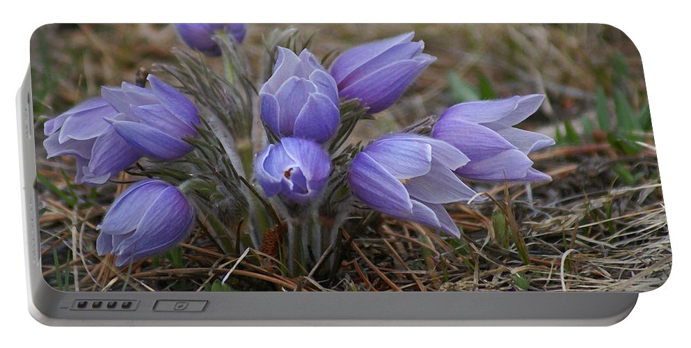 Pasque Flower Portable Battery Charger featuring the photograph Watercolor Pasque Flowers by Heather Coen
